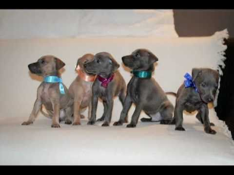 Italian Greyhound Puppies IT GREY BUTTERFLY Merry