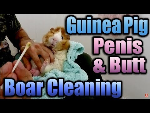 Guinea Pig Boar Cleaning (Penis & Butt) with Timmy