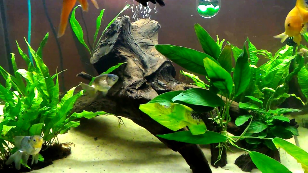 planted tank aquarium goldfish with large leaf anubias driftwood java fern