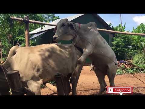 Вау! Удивительный Человек, Разводящий Большую Корову В Камбодже, Как Разводить Коров (Часть 02)