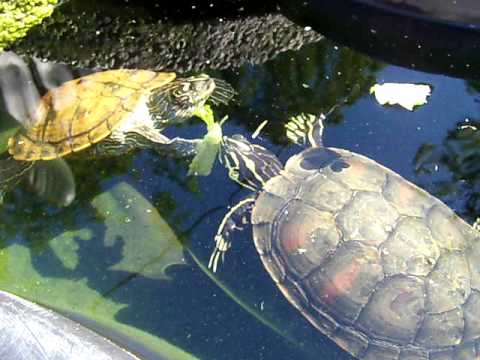 Aquatic Turtles Eating Lettuce In Their Outdoor Pond - YouTube