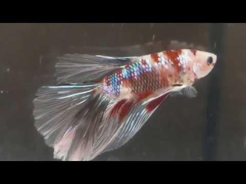 Wie Richte Ich Ein Aquarium Für Einen Kampffisch Betta Splendens (Zuchtform) Ein?