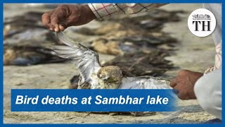 Botulism kills migratory birds at Sambhar lake