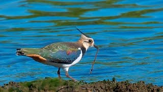 Чибис (Vanellus vanellus) - птица семейства ржанковых