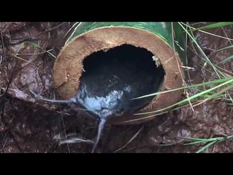 The First Bamboo Trap Smart Man Catch Alot of Fish In Hole Trap Using Big Bamboo