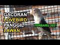 Suara Lovebird Memanggil Lawan  Auto Ngetik Ngekek Gacor Pancingan Lovebird Ngekek  Mp3 - Mp4 Download
