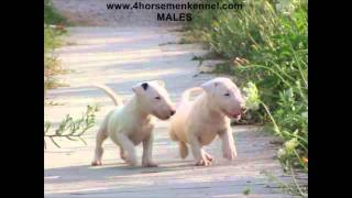 Bull Terrier Puppies Available - The Four Horsemen Kennel - 5 Weeks Old - D Litter