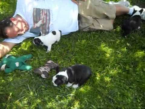Frenchbo Faux Frenchie Faux Frenchbo Bulldog Puppies Oregon Breeder Youtube