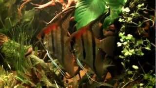 south american biotope aquarium angelfish planted tank update