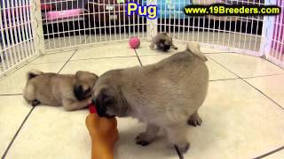 Pug, Puppies, For, Sale, In, Clifton, New Jersey, Nj, Morris, Passaic, Camden, Union, Ocean, Monmout
