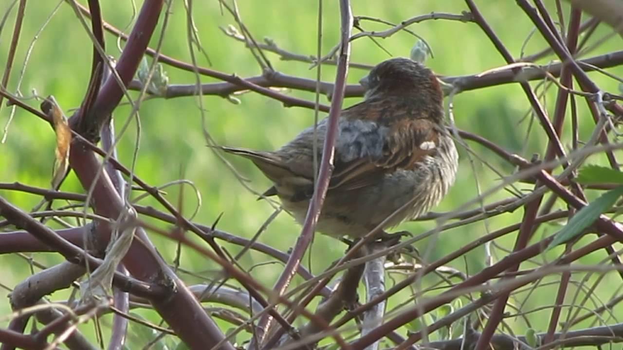 Звуки птиц скачать воробей чирикает