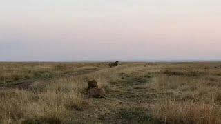 Male lion steals a lions lioness