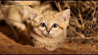 可愛警告:超萌沙漠貓寶寶罕見曝光!《國家地理》雜誌
