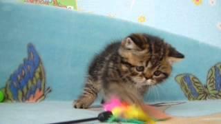 Продажа котят экзотов Санкт Петербург