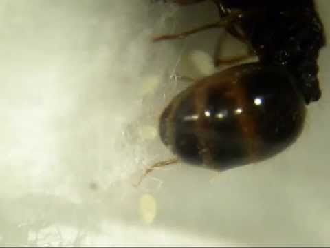 Queen Ant Laying Eggs