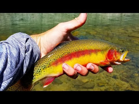 Catching BIG Golden Trout In Idaho! (Tenkara Fly Fishing)