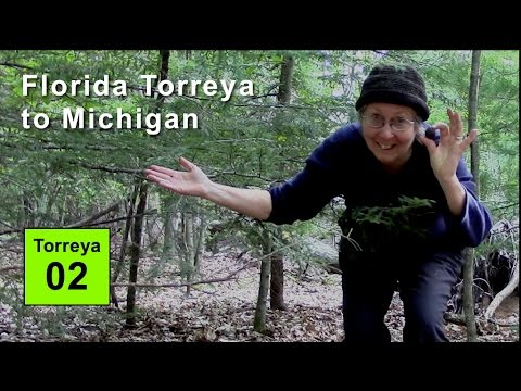 Climate Endangered Florida Tree Moved to Michigan: Torreya taxifolia