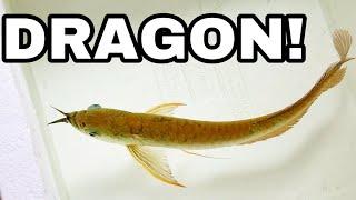 MONSTER Pet DRAGON FISH for my Home AQUARIUM!