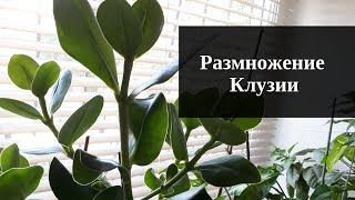 Размножение клузии от А до Я/ Комнатные растения