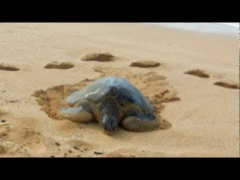 Giant Sea Turtles on Oahu's North Shore
