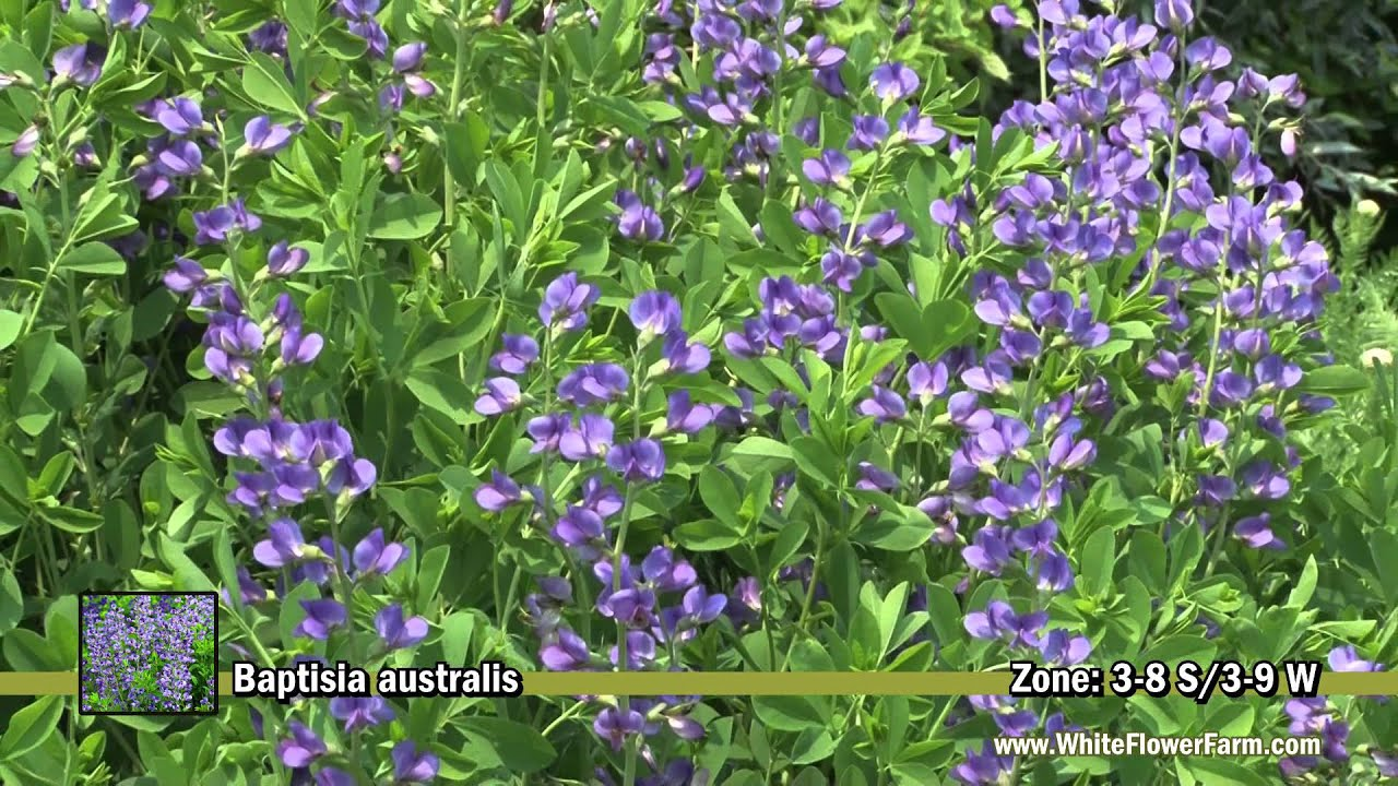 Baptisia Australis From White Flower Farm Youtube