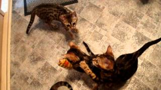 Бенгальские котята недорого