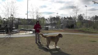 Dog Training, Masen, Golden Retriever, Day 9: Off-leash Recall, Distraction Training