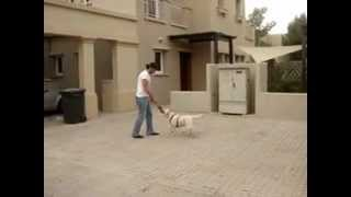 Labrador Retriever - Dubai (owner: Don Raji)