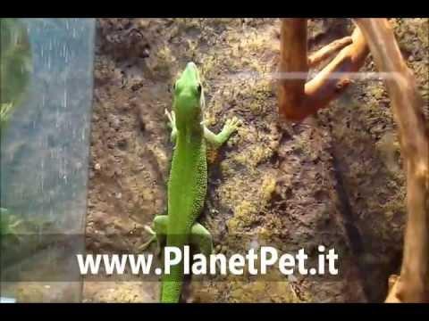 Geco del Madagascar – www.PlanetPet.it