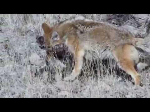Вопрос: Бывает ли гибрид шакала и койота Как он называется?