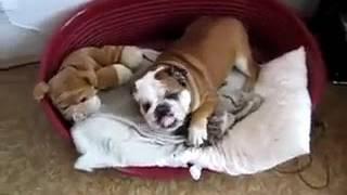 Ленивый английский бульдо  приколы +с животными видео самые