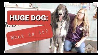 Grooming a Russian Wolfhound aka Borzoi