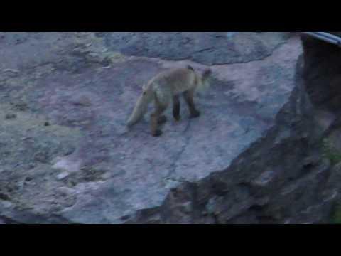 Blog. Meditations on vitality, and we see a fox (rambles)