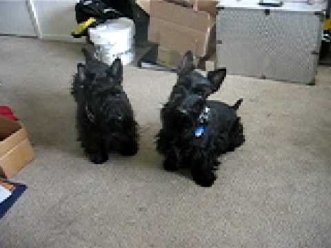 Scotties Guinness and Fenway get excited when they hear the word 'walk'