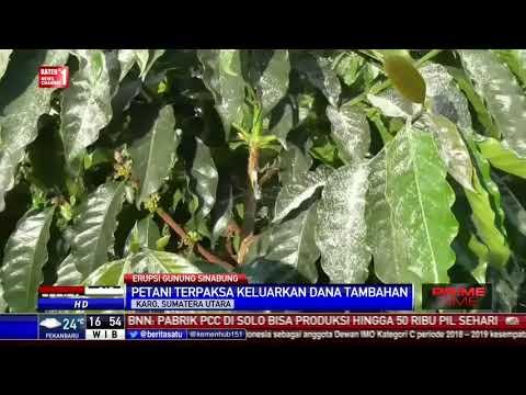 Lahan Pertanian di 3 Kecamatan Terpapar Abu Vulkanis Sinabung
