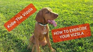 How To Exercise A VIZSLA Puppy