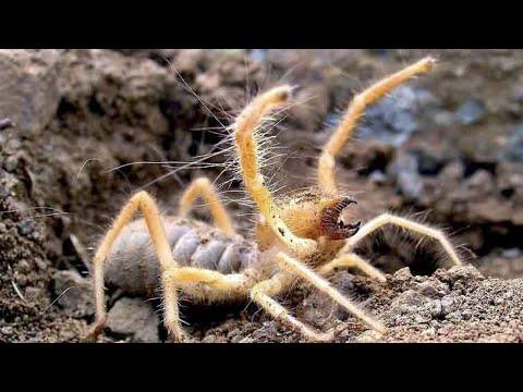 СОЛЬПУГА он вам не паук! Опасное членистоногое против скорпиона, муравьев, птицы...