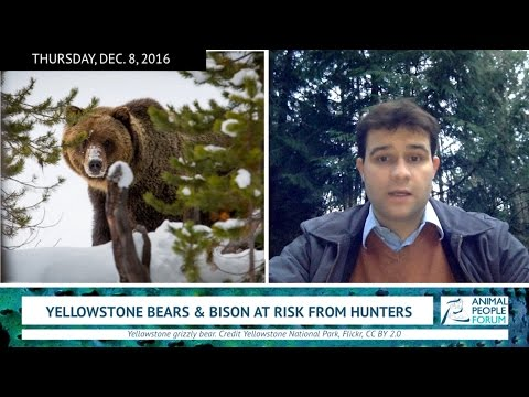 WORLD NEWS: Yellowstone wildlife fall prey to hunting (12/8/16)