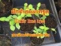 ปักชำกิ่งมะกรูด 12.07.2016 Kaffir lime tree