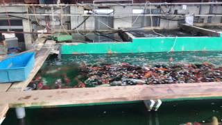 Mua cá Koi tại trại Marusei Koi Farm,Niigata,Japan.12/2016