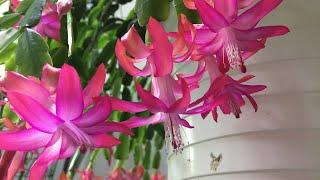 게발선인장은 CAM식물. 겨울관리법 #온도#밤에 통풍이…