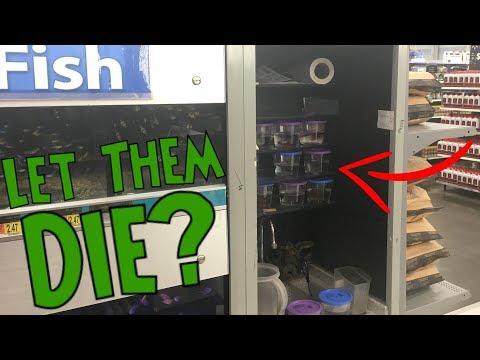 Walmart Betta Fish Rescue - THE TRUTH REVEALED