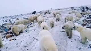 видео: Нашествие белых медведей на архипелаг Новая Земля