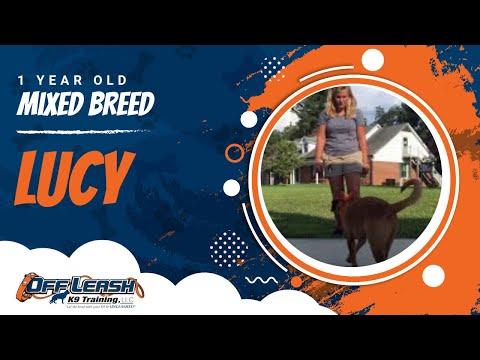 Lucy, 1 Yr., Beagle/ Labrador Mix