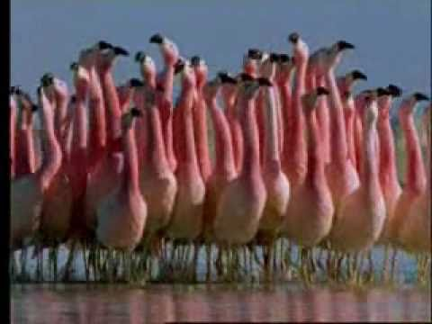 """BBC Natural World Symphony's """"The Great Dance Part I"""""""