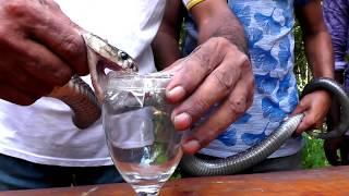 পটুয়াখালী রাজ্জাক বিশ্বাস ভিডিওতে দেখালেন সাপ এর ছোবলে মানুষের কেন মৃত্যু হয় | BD SNAKE MASTER | HD