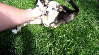 Cute Cardigan Welsh Corgi Puppies Playing With Each Other.