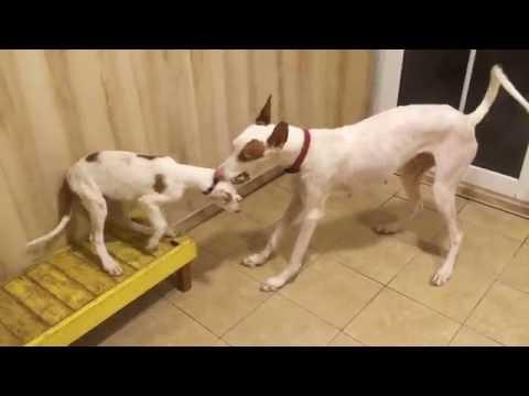 Ibizan Hounds puppies
