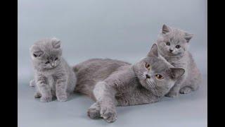 British shorthair cat Vs Scottish fold cat
