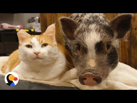 Pig, Cat Are Best Friends | The Dodo